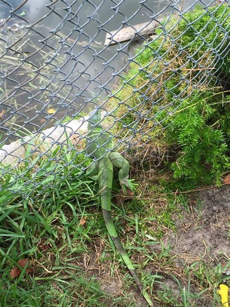 Reptile rescued by Miramar firefighters - Sun Sentinel
