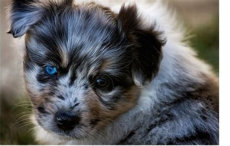 young Australian Shepherd puppy with the most beautiful