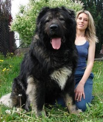 leopard: The Newfoundland Dogs