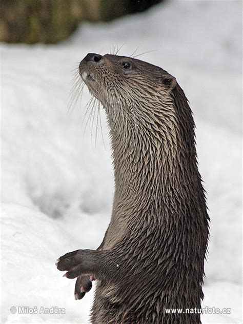 Lutra lutra Pictures, European otter Images, Nature
