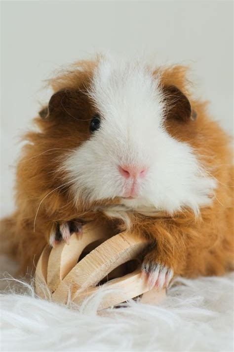 75 Best Guinea Pig Names, Including Names for Males