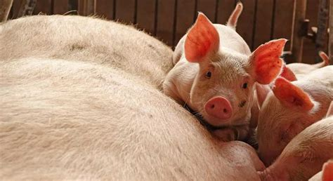 Vietnam pork imports banned after African Swine Fever