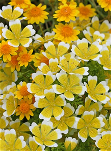 """Limnanthes douglasii """"Meadow Foam"""" - Buy Online at Annie's"""
