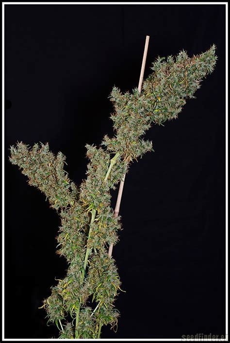 The original Haze (by Flying Dutchmen) :: SeedFinder